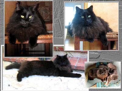 disparu chat noir type angora une. Black Bedroom Furniture Sets. Home Design Ideas