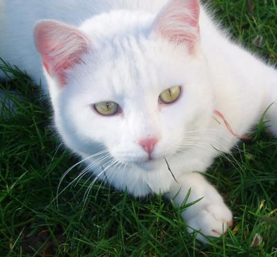 chat blanc perdu une personne objets trouves objets perdus animaux perdus. Black Bedroom Furniture Sets. Home Design Ideas