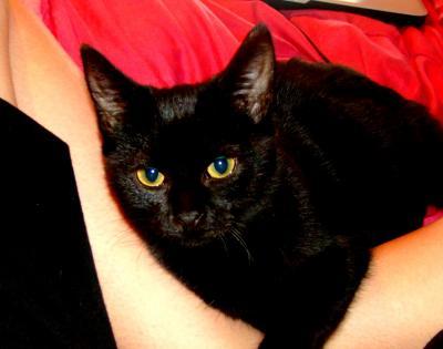 extrêmement noir chatte