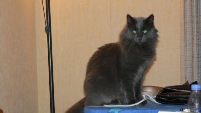 perdu chat gris angora 1 an une. Black Bedroom Furniture Sets. Home Design Ideas
