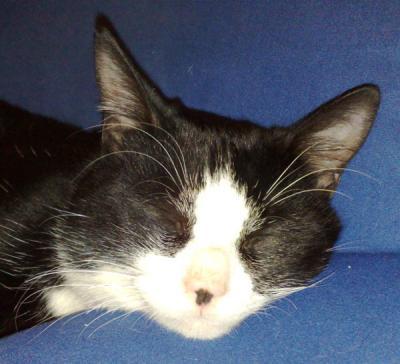 trouv chat m le noir et blanc orl ans une personne objets trouves objets. Black Bedroom Furniture Sets. Home Design Ideas