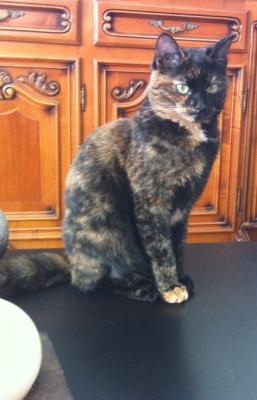 perdu 13005 4 jeune chatte de 10 mois ecaille de tortue une personne objets. Black Bedroom Furniture Sets. Home Design Ideas