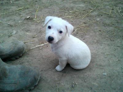 Perdu jack russel femelle blanche 10 mois queue coup e une personne objets - Jack russel queue coupee ...