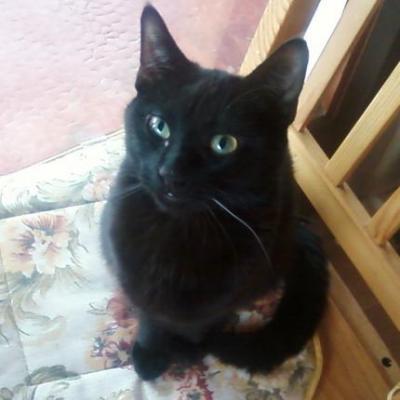 perdu jeune chat noir